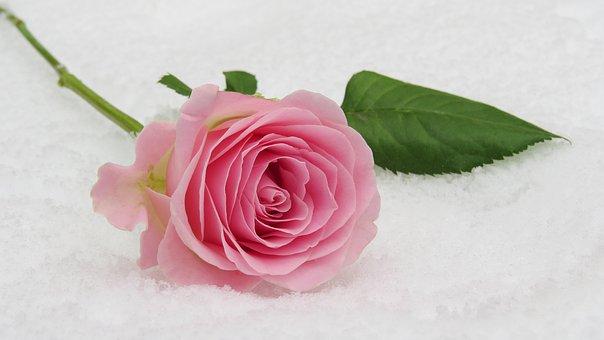 バラ好き必見!冬の間に必ずやるべき4つのお手入れとは?