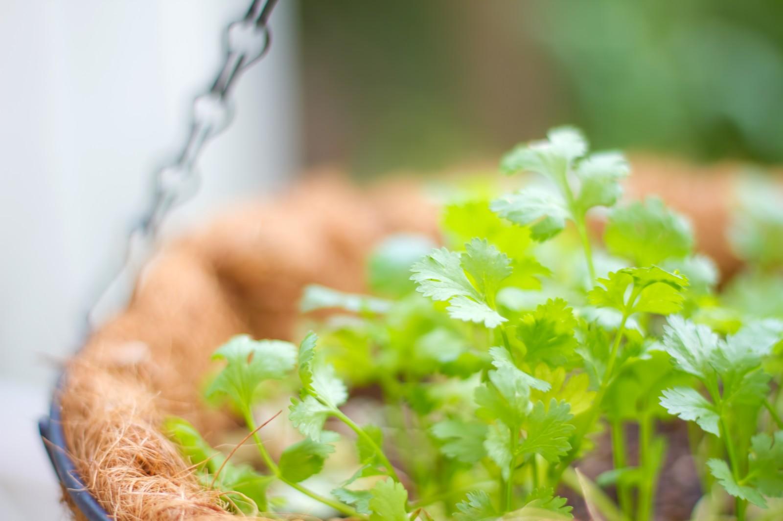 パクチーの栽培から収穫へ!5つの作業をご紹介
