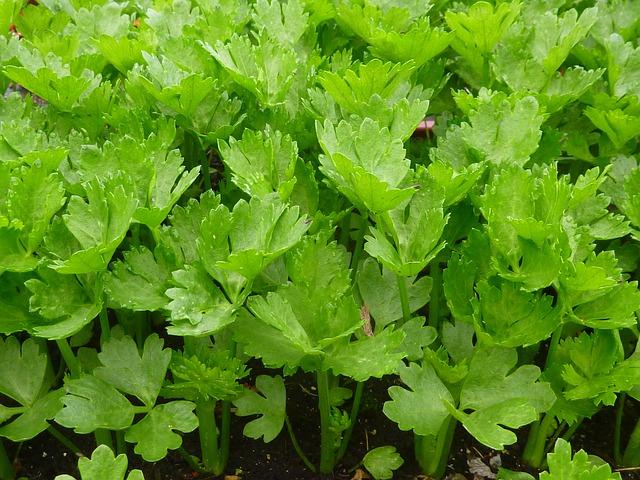 栄養満点!セロリの種蒔きから収穫までの栽培ポイント5点