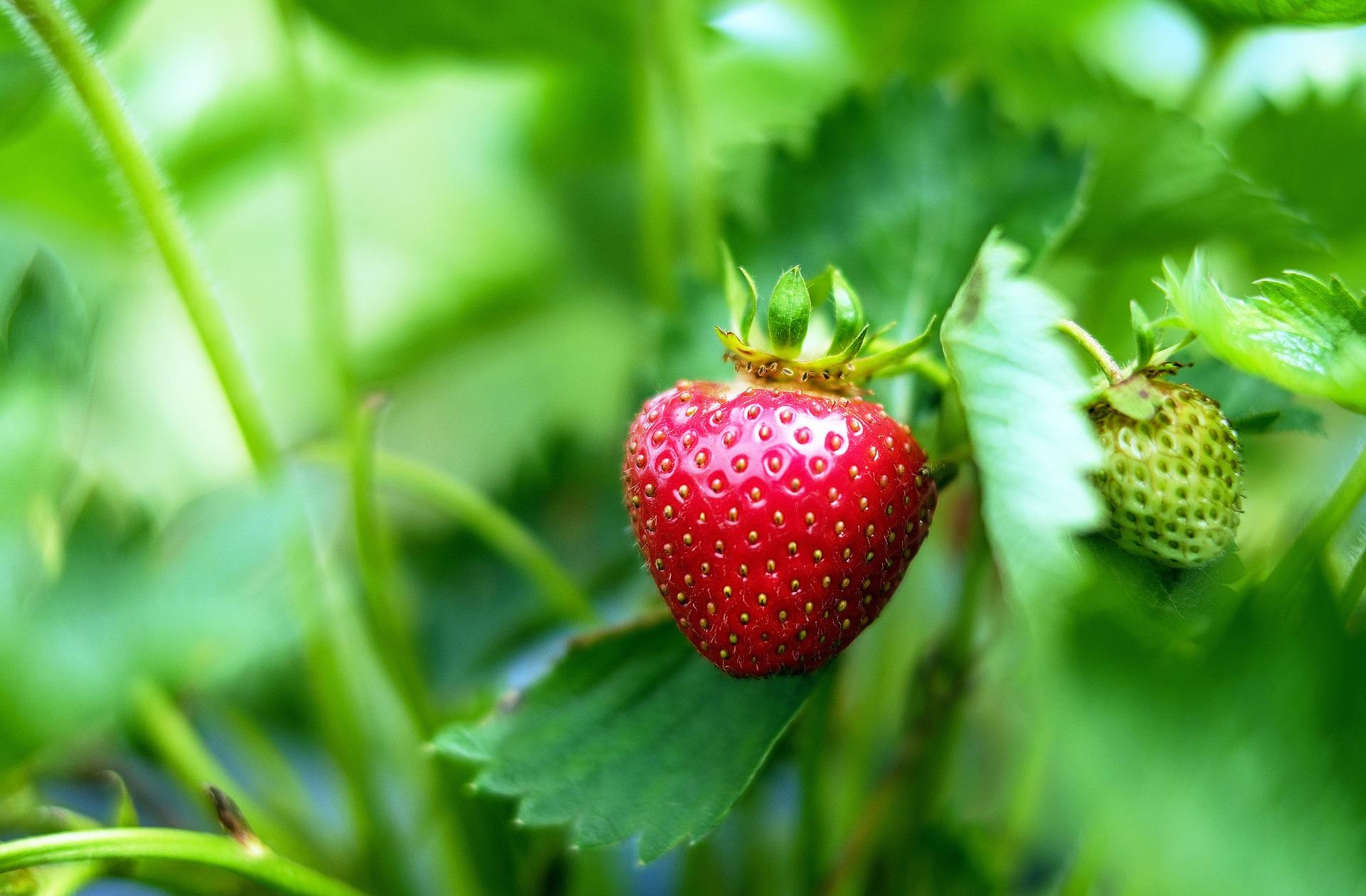 プランターで育てよう!イチゴ栽培の植え付けから収穫までのコツ6つ