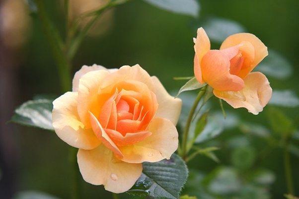 【育てやすくて美しい】おすすめのつるバラ品種6選