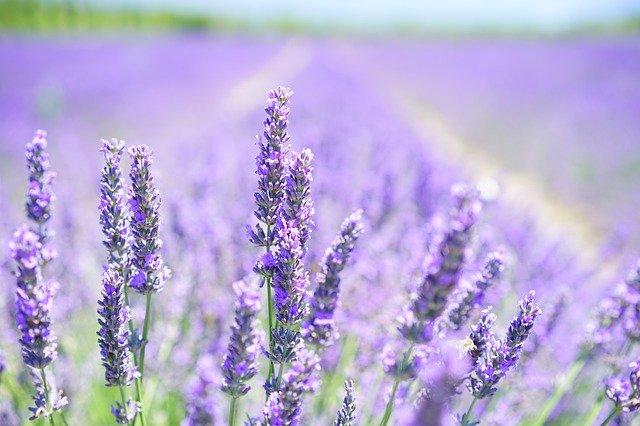 香り豊かなラベンダー!栽培方法8つのコツ