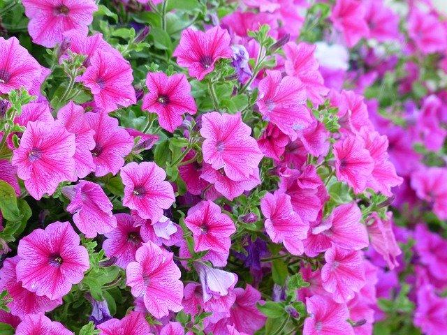 ペチュニアの育て方!長く花を咲かせる4つのコツは?