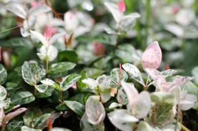 つる植物おすすめの種類10選!寄せ植えやグランドカバーにも
