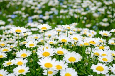 秋の種まきにおすすめの一年草【10選】