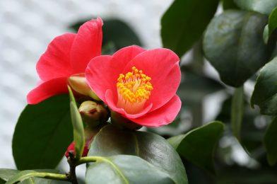 冬の代表花! 椿を庭に植えるときの育て方ポイント8つ