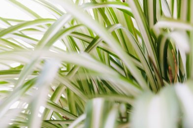 オリヅルランの育て方4つのコツ! オススメ園芸品種もご紹介