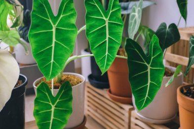 ボリュームのある観葉植物を育てたい! クワズイモ栽培の5ポイント