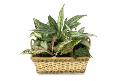 ディフェンバキアの育て方 8つの栽培ポイントや人気品種をご紹介
