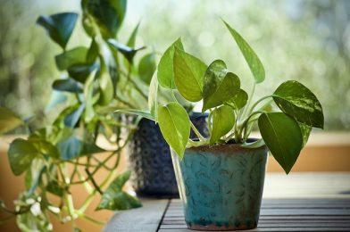 観葉植物で人気のポトス!育て方の5コツやおしゃれな飾り方を紹介
