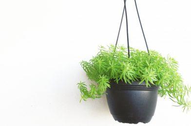 吊り下げハンギングにおすすめの観葉植物【7選】飾り方などを解説