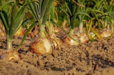 玉ねぎ栽培7つのコツ! 苗植えから収穫までのポイントをご紹介!