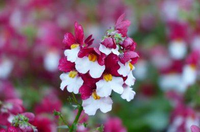 カラフルで丈夫な花を育てたい人必見!メネシアの育て方6ポイント